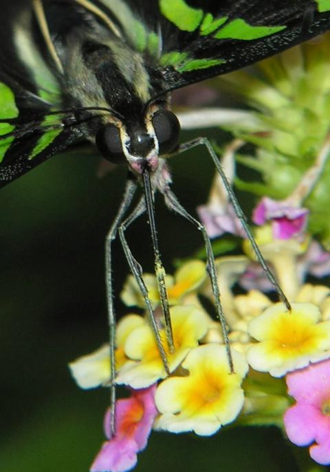 Butterfly Macro II