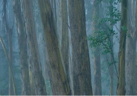 Eucalyptus & Fog