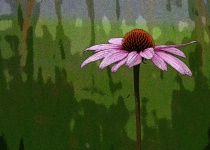 Solitary Coneflower- Modified