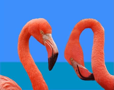 Ocean flamingo