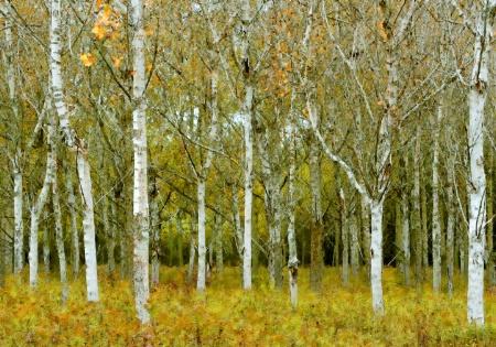 Painted Birch