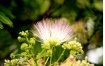 Mimosa Blossom wi...