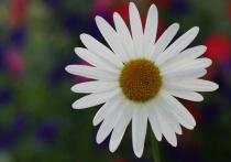 Horizontal daisy