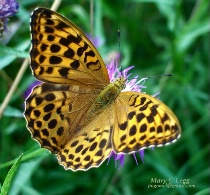 a golden fritillary moment