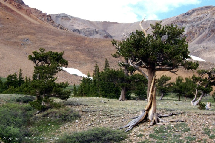 Bristlecone Pine Youngsters