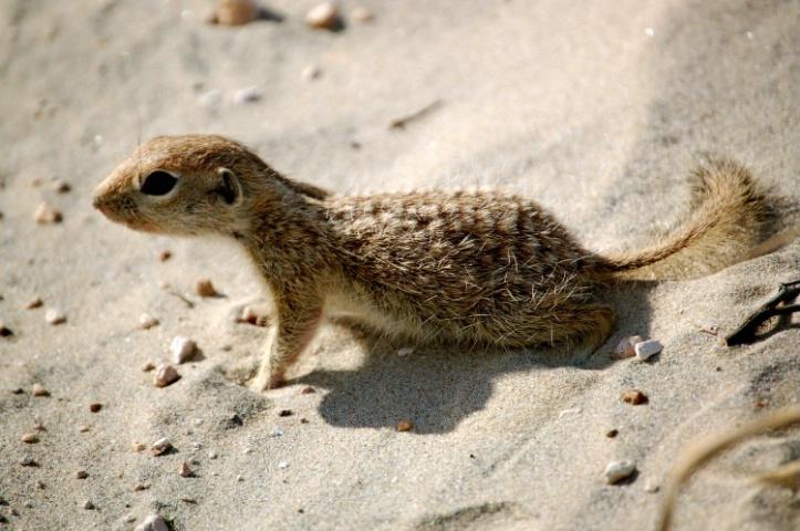Sandy Squirrel
