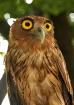 Philippine Owl