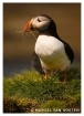 Puffin with nest ...