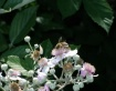 Honey bee on flow...