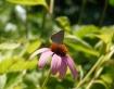 Butterfly on flow...