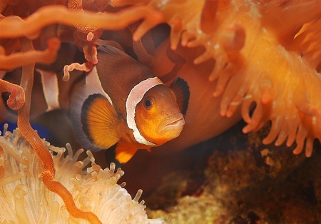 Clown fish hide
