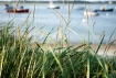 Harbor Grass