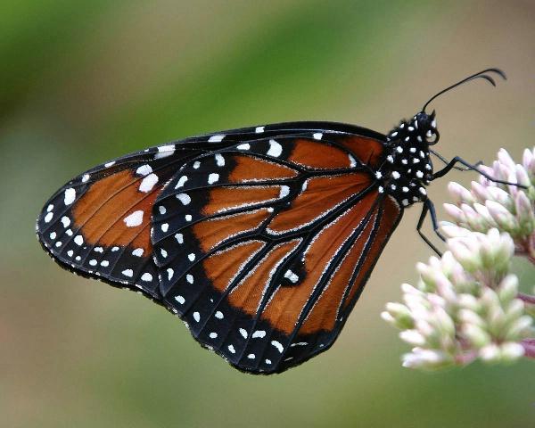 Monarch Butterfly OKC Zoo