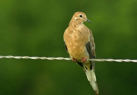 Dove on a Wire