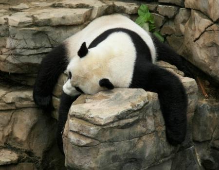 Mei Xiang Naps, National Zoo