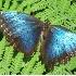 © Carol Marsh PhotoID# 2490239: Blue morpho butterfly in Costa Rica