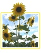 Runaway Sunflower