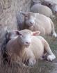 Sheep Line