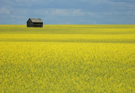 Barn in Canola