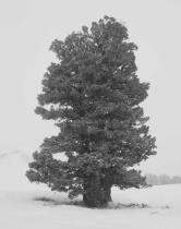 Graphic Design: Tree in heavy snow storm Snowbasin