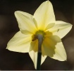 Daffodil with a v...