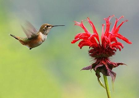 Rufous Hummingbird approaching Bee Balm #3