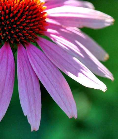 cone flower power