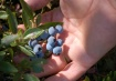 Blueberries by th...