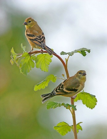 Goldfinch Duo