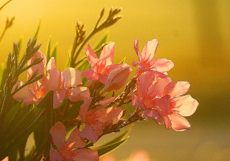 sunrise oleanders