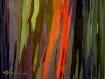 ~Rainbow Eucalipt...