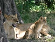 Lion Cub with Full Tummy