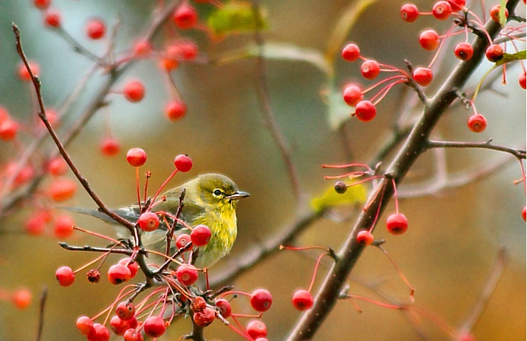 Pine Warbler at Lunch