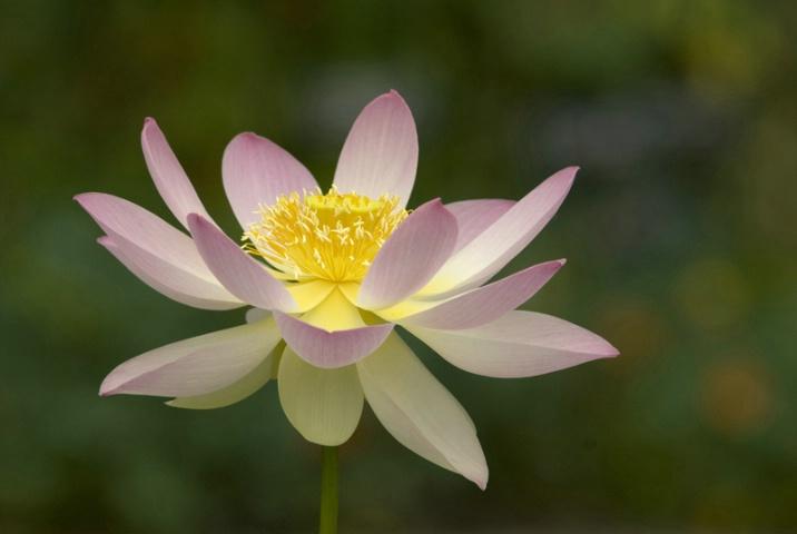 Lotus # 2