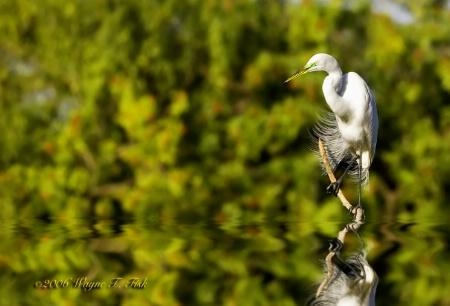 Precarious Egret