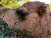 Camel Curls!