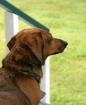 Guard Dog??