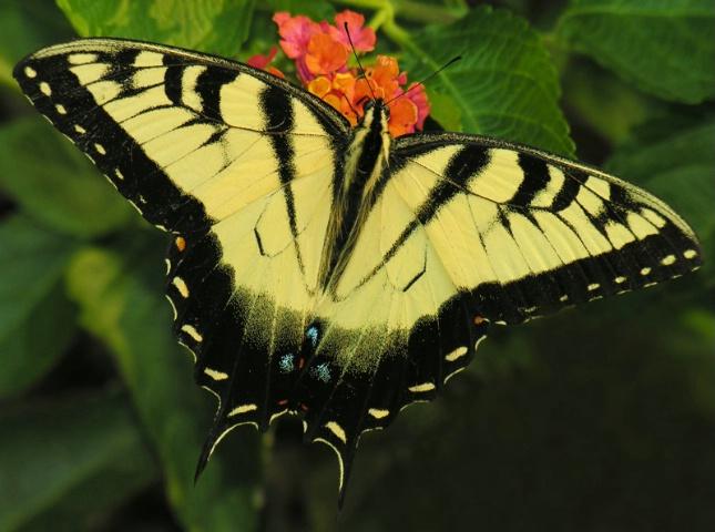 Swallowtail (II)