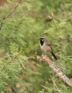 Black-throated Sp...