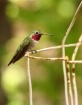 Broad-tailed