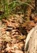 Black-tailed Ratt...
