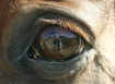 Horse Eye Reflect...