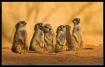 Five Meerkats