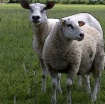 Posing sheep adju...