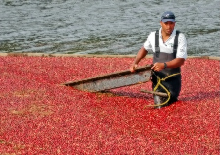 Corralling the Cranberries