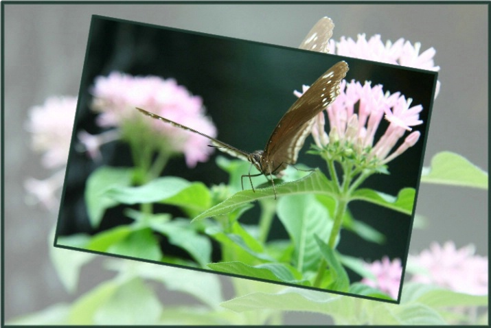 Callaway Butterfly - ID: 2622588 © DEBORAH thompson