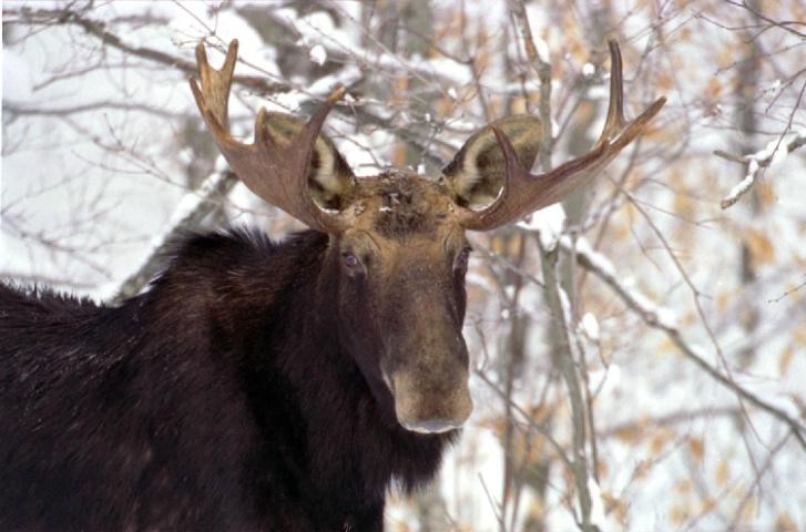 Bull Moose In The Winter. ALgonquin Park