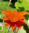Orange Longwing o...