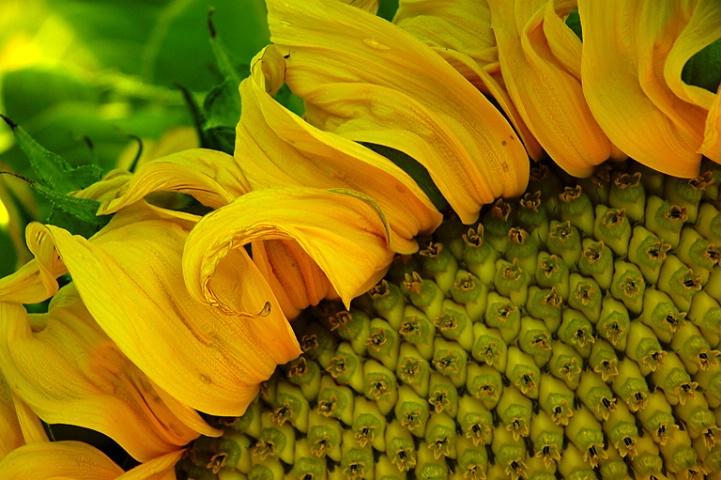 Sun Flower I