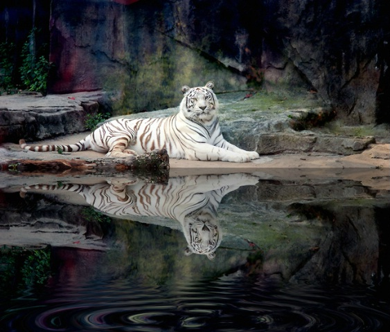 The White Tiger 1
